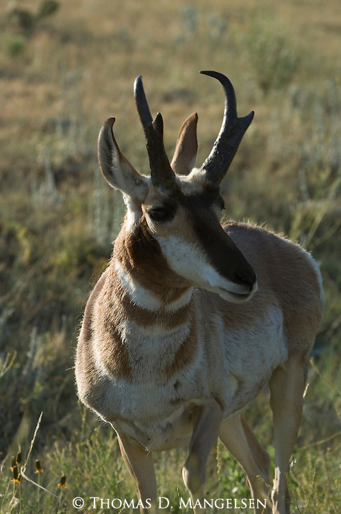 Portrait of a grazing pronghorn antelope in South Dakota.