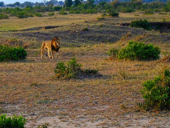 Lion at sunrise, Maasai Mara