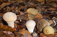 Beutel-Stäubling, Groß-Stäubling, Beutelbovist, Sackbovist, Beutelstäubling, Gross-Stäubling, Lycoperdon excipuliforme, Calvatia excipuliformis, Calvatia saccata, Handkea excipuliformis, Pestle puffball, Long-stemmed puffball