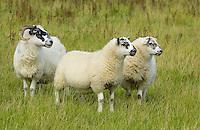 Blackface ewe with twin Mule lambs, Whitewell, Lancashire.
