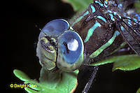 1O06-009b  dragonfly adult head and eyes -  Black-tipped Mosaic Darner Dragonfly - Aeshna tuberculifera..