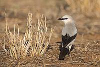 Stresemann's Bush Crow near Yebelo in southern Ethiopia