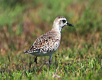 American golden-plover. Photographed April 11, 2013.