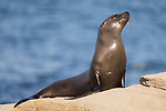 La Jolla, California; a juvenile California Sea Lion warms up in the late afternoon sun on a rocky outcropping in the Pacific Ocean