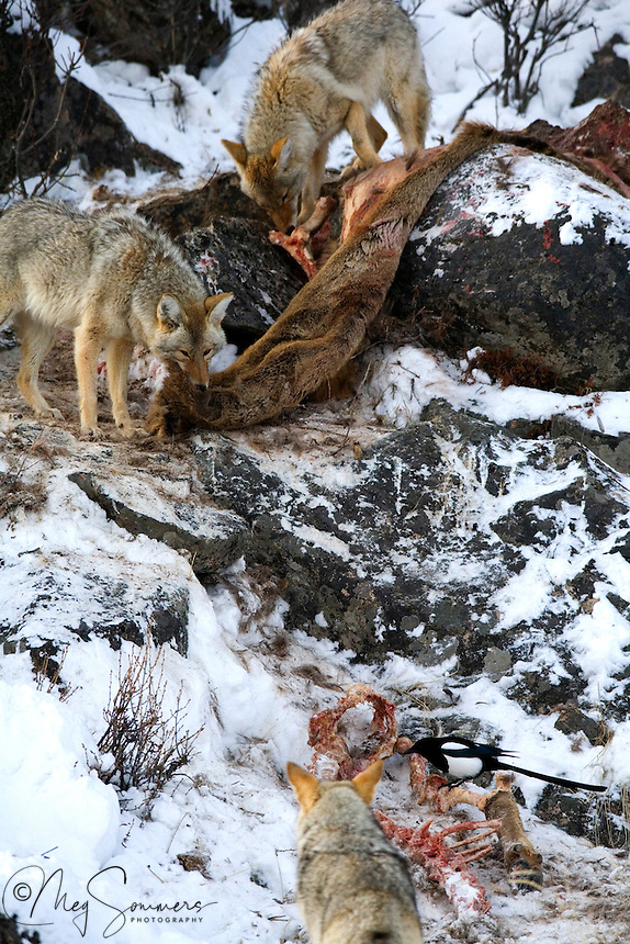 Though coyotes (Canis latrans) have been observed to travel in large groups, in Yellowstone they primarily hunt in pairs.  Coyote packs are generally smaller than wolf packs, and associations between individuals are less stable. <br /> In theory, this is due to <br /> the fact that coyotes reach their full growth in their first year, unlike wolves, which reach it in their second. At maturity, the male yearlings will disperse while the females generally stay with the pack. Lamar Canyon, Yellowstone.