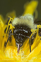 BU06-011z  Bumblebee - worker tongue collecting nectar from flower - Bombus impatiens