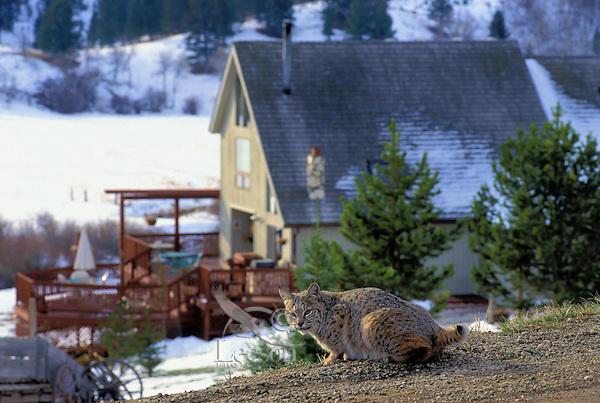 BOBCAT pauses near house at dawn. Housing development in wildlife habitat. Rocky Mountains. North America. (Felis rufus).