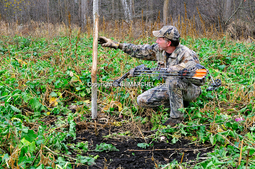 00105-051.04 Bowhunting:  Archer is checking rub tree with licking branch placed in food plot of turnips.  Hunt, manage, rut.