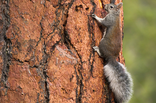 Abert's Squirrel or tassel-eared squirrel (Sciurus aberti) on side of old growth ponderosa pine tree.  South rim of Grand Canyon, Arizona.