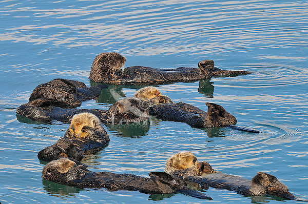 Alaskan or Northern Sea Otters (Enhydra lutris) rafting--resting in a quiet cove.