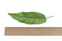 Mandelbaum, Mandel-Baum, Mandel, Prunus dulcis, Amygdalus dulcis, Amygdalus communis, Prunus amygdalus, Amygdalus amara, Amygdalus sativa, Almond, Amandier. Blatt, Blätter, leaf, leaves