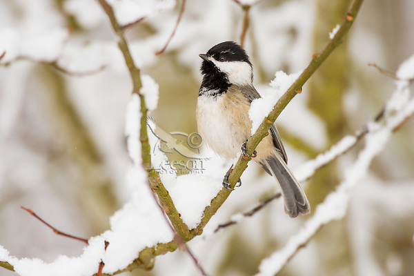 Black-capped Chickadee (Poecile atricapillus) singing on snow covered branch.  Pacific Northwest.  February.