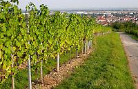 pinot gris vineyard domaine gerard neumeyer alsace france