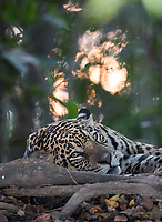 Once again, we had good luck with the jaguars of the Pantanal, with 27 sightings in nine outings. This was the first jaguar of the trip, photographed at dusk.