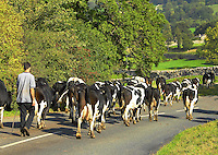 Moving a commercial black and white milking herd, North Yorkshire.