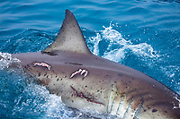 great white shark, Carcharodon carcharias, adult female with bite marks from mating, Guadalupe Island, Mexico, Pacific Ocean