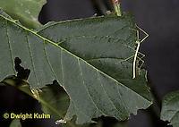 OR07-533z  Walking Stick Insect, juvenile camouflaged on tree, eating leaf, Acrophylla wuelfingi