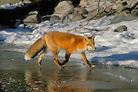 Red fox (Vulpes vulpes) trots along edge of frozen lake.  Winter.