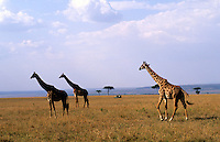 Safari in Kenya, Africa with giraffes roaming the plain.