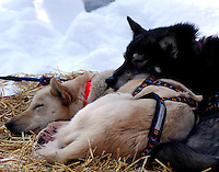 Resting sleds dogs demonstrate the buddy system for keeping warm.