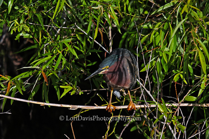 Green Heron Perched  #H22
