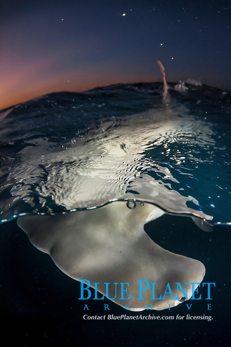great hammerhead shark, Sphyrna mokarran, the largest species of hammerhead shark attaining lengths of upto 6m, South Bimini Island, Bimini, Bahamas, Caribbean Sea, Atlantic Ocean