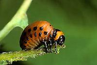 1C28-056z   Colorado Potato Beetle - larva - Leptinotarsa decemlineata