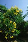 4077-CC Senna Tree, Senna polyantha, Growth Habit, in bloom, at Los Angeles State & County Arboretum, Arcadia, CA USA