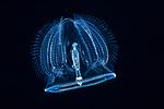 Acorn Worm, Enteropneusta , Black Water Diving; Gulfstream Current; Jellyfish; Plankton; SE Florida Atlantic Ocean; larval fish; pelagic creatures; pelagic larval marine life