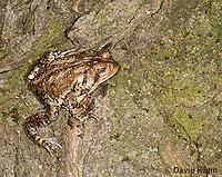 0304-0914  American Toad,  © David Kuhn/Dwight Kuhn Photography, Anaxyrus americanus, formerly Bufo americanus