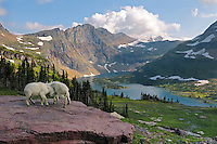 Mountain Goat (Oreamnos americanus) kids playing.  Glacier National Park, Montana.  Summer.
