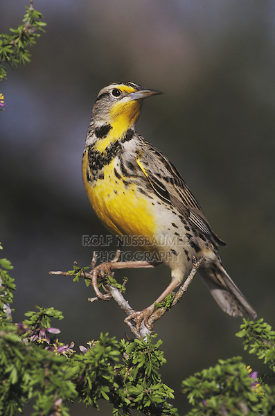 Eastern Meadowlark (Sturnella magna), adult perched on blooming Guayacan (Guaiacum angustifolium), Starr County, Rio Grande Valley, Texas, USA