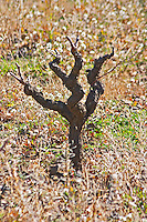 Domaine Fontedicto, Caux. Pezenas region. Languedoc. Vines trained in Gobelet pruning. Old, gnarled and twisting vine. 30 year old Carignan grape vine variety. France. Europe. Vineyard.