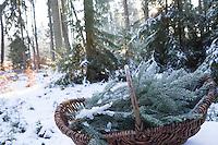 Fichte, Fichtenzweig, Fichtenzweige im Winter in einem Korb, gesammelt, Ernte, ernten, Gewöhnliche Fichte, Rot-Fichte, Rotfichte, Picea abies, Common Spruce, Norway spruce, L'Épicéa, Épicéa commun