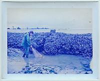 Europe/France/Poitou-Charentes/17/Charente-Maritime/Ile de Ré/Sainte-Marie-de-Ré: Pêche à pied avce les paysans-pêcheurs de la Maison du Magayant sur l' écluse  à poisson Belle Pointe - D'origine médiévale, ces écluses constituent un patrimoine typique de l'Ile de Ré. Visibles à marée basse, ces longs murs de pierres assemblées sans liant participent d'un art de construire et de pêcher irremplaçable.