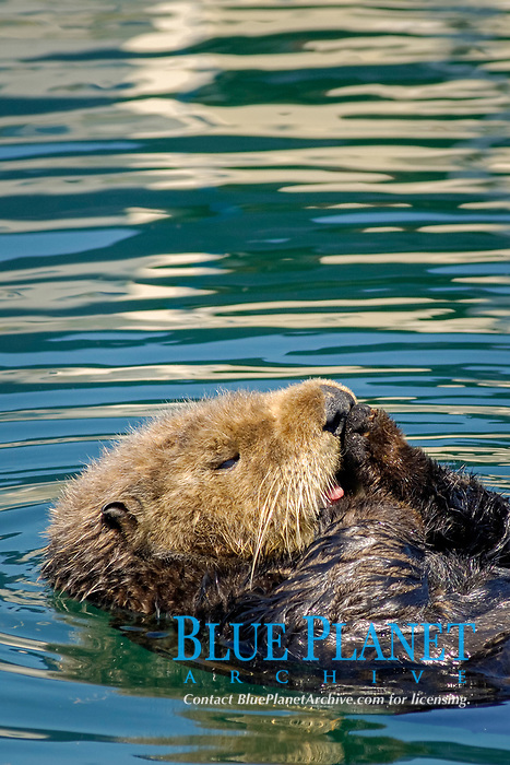 sea otter (southern), Enhydra lutris nereis, (vertical image), otter is grooming, licking paws with tongue, side view with tongue sticking out and white furry face, floating in beautifully colored water from reflections of boats in Monterey Bay National Marine Sanctuary harbor, California