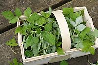 Himbeer-Blätter, Himbeerblätter gesammelt, Ernte, in einem Korb, Wilde Himbeere, junge, zarte Blätter vor der Blüte, Rubus idaeus, Raspberry, Rasp-berry