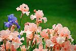 Purple and peach iris