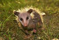Opossum at eye level and backlighted  in field holding food in hand and eating closeup. Missouri USA