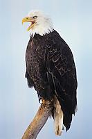 Bald Eagle calling while sitting on coastal driftwood.