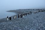 King Penguin colony at Royal Bay on South Georgia.