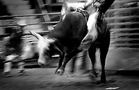 Black & white image of a rodeo - Cowboy rides bull while others scatter, cowboy twists off bull's back. United States Rodeo.