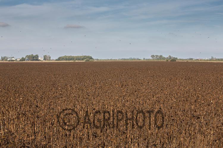 Sunflowers ripe for harvesting<br /> Picture Tim Scrivener 07850 303986