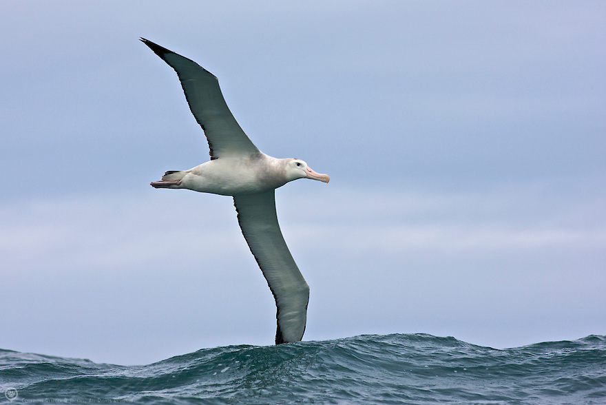 Wandering Albatross soaring over the waves in Kaikoura, New Zealand