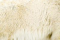 polar bear, Ursus maritimus, fur detail, Spitsbergen, Svalbard, Norway, Arctic Ocean