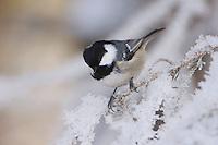 Coal Tit, Parus ater, adult on branch with frost by minus 15 Celsius, Lenzerheide, Switzerland, Dezember 2005