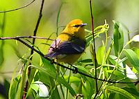 Adult male blue-winged warbler