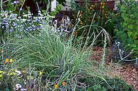 Nassella pulchra, purple needlegrass, California native plant and State grass in Sibley drought tolerant front yard garden, Richmond California