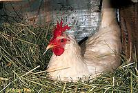 DG13-009b  Chicken - hen sitting on nest - White Leghorn