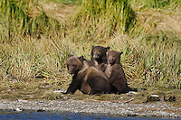 A picture of three grizzly cubs sitting along the shore. Grizzly Bear or brown bear alaska Alaska Brown bears also known as Costal Grizzlies or grizzly bears Grizzly Bear Photos, Alaska Brown Bear with cubs. Purchase grizzly bear fine art limited edition prints here Grizzly Bear Photo Bear Photos,